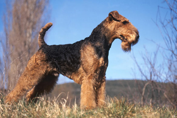 Airedale Terrier, Airedale Terrier