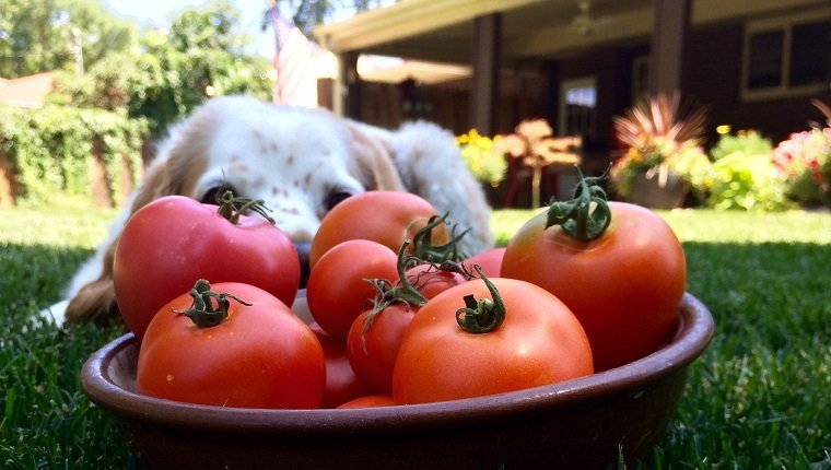 chiens,tomates, Les chiens peuvent-ils manger des tomates ? Les tomates sont-elles bonnes pour les chiens ?