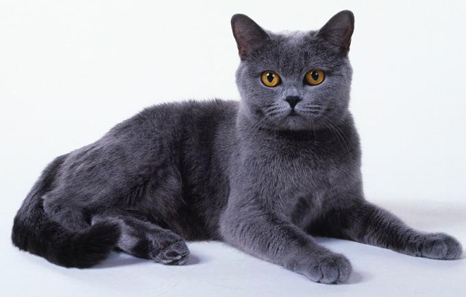 chat, Les 10 races de chats préférées des français