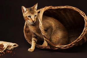 , Les Races de Chats