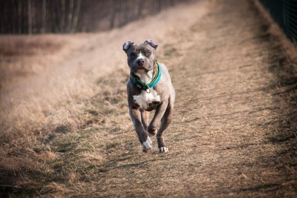 American Staffordshire Terrier, American Staffordshire Terrier