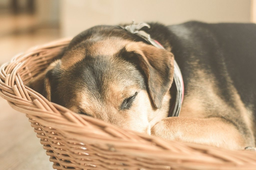 chiens âgés, Les chiens âgés : parcours et conseils