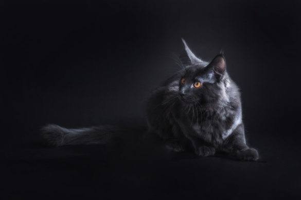 Maine Coon, Maine Coon