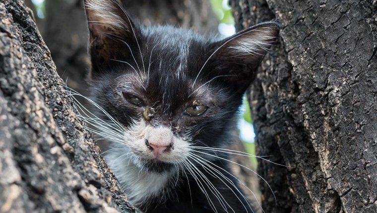 , Écoulement oculaire chez les chats : symptômes, causes et traitements