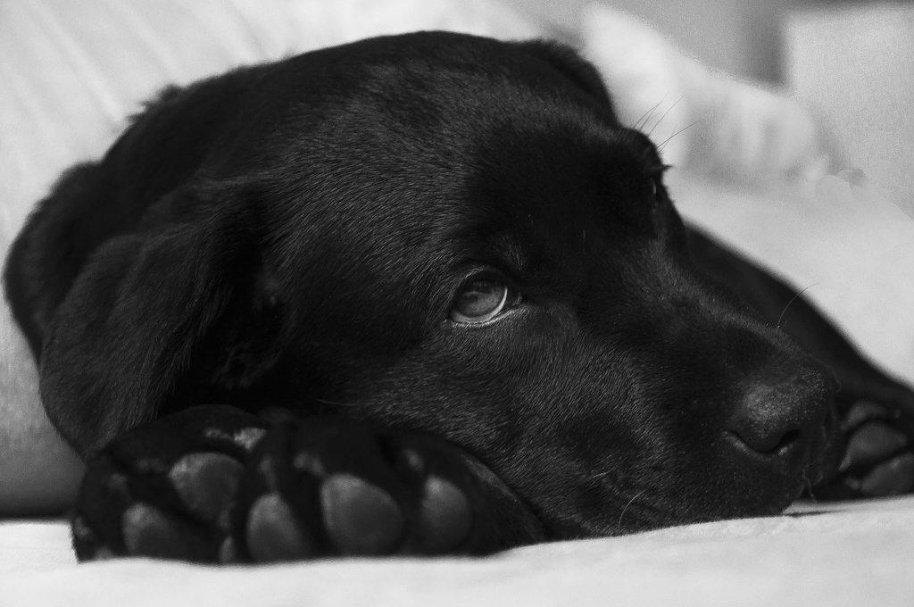 dysplasie de la hanche, Dysplasie de la hanche chez le chien : symptômes et traitement