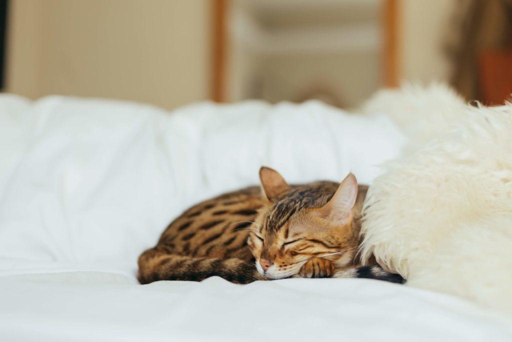 fièvre,chat, Fièvre du chat : symptômes, causes et traitements