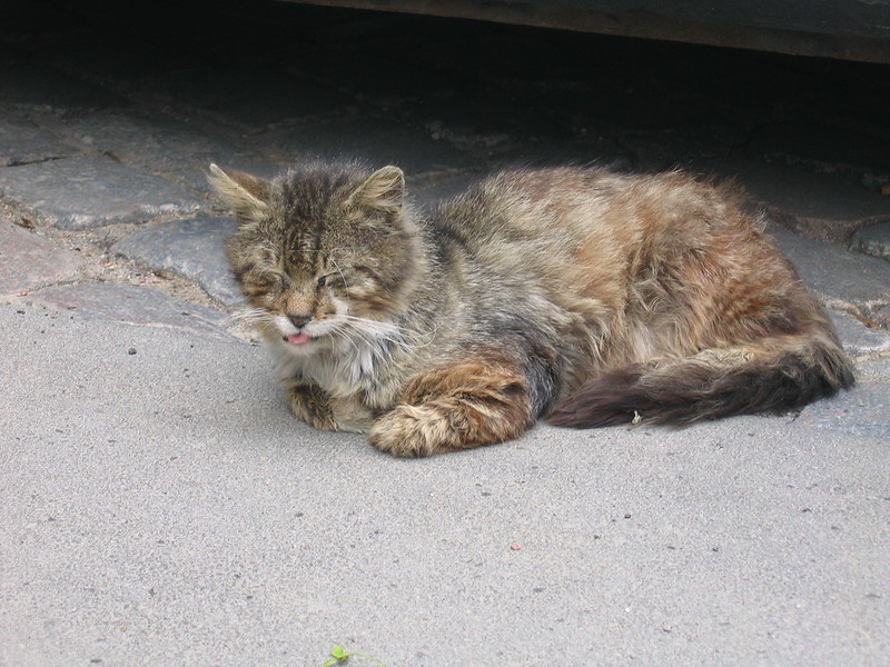 calicivirus du chat, Calicivirus du chat : symptômes, causes et traitements