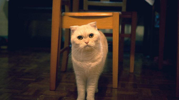 Scottish Fold, Scottish Fold