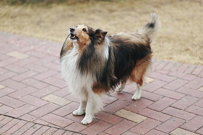 chiens à poil long, Top 5 des races de chiens à poil long