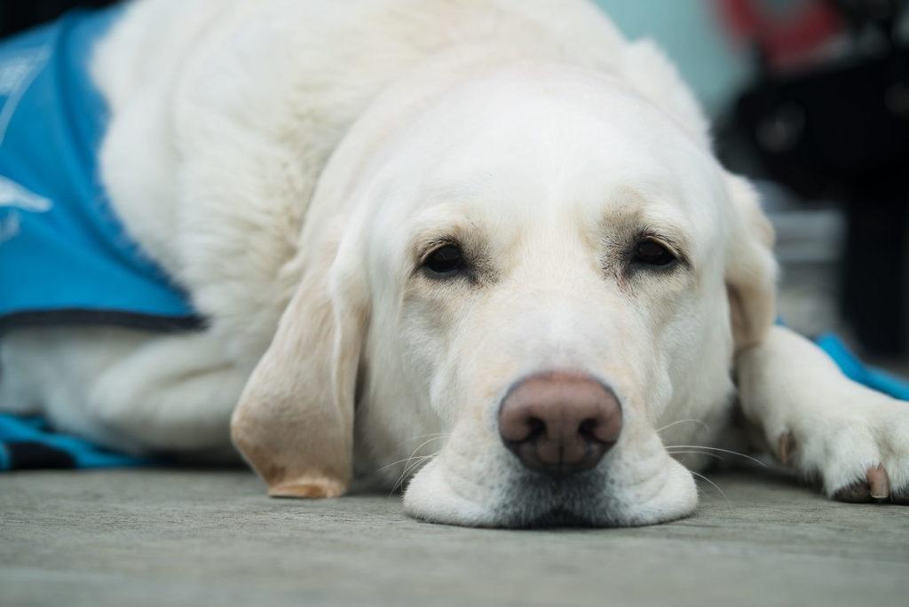 maladie de lyme, Maladie de lyme chez le chien : symptômes, causes et traitements