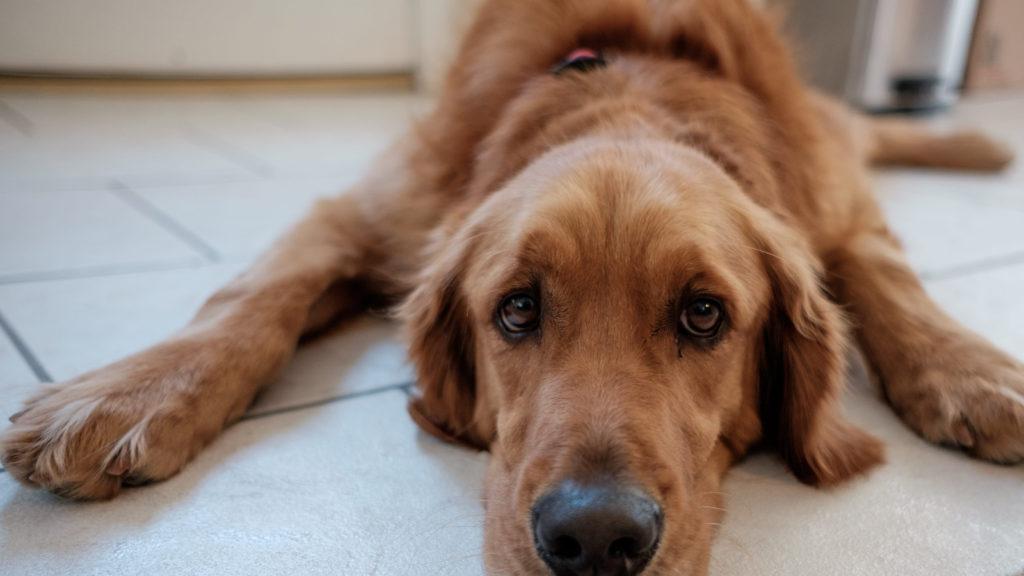 leishmaniose chez le chien, Leishmaniose chez le chien: symptômes, causes et traitements
