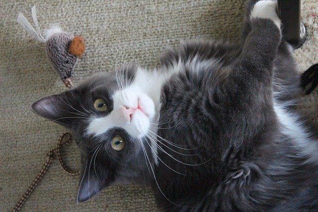 jouer avec son chat, Pourquoi faut-il jouer avec son chat : l'importance d'une activité féline